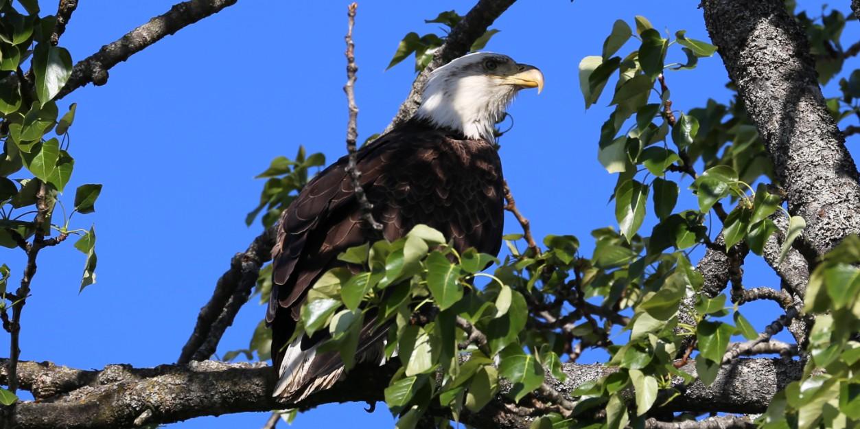 Eagle at Eagles Rest