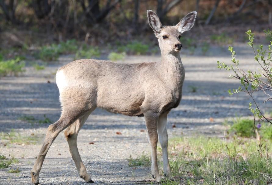 Mule Deer2